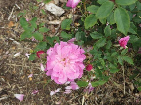 Old Blush, Jane Stephens, Candelo, Adelaide Botanic Garden 1.jpg