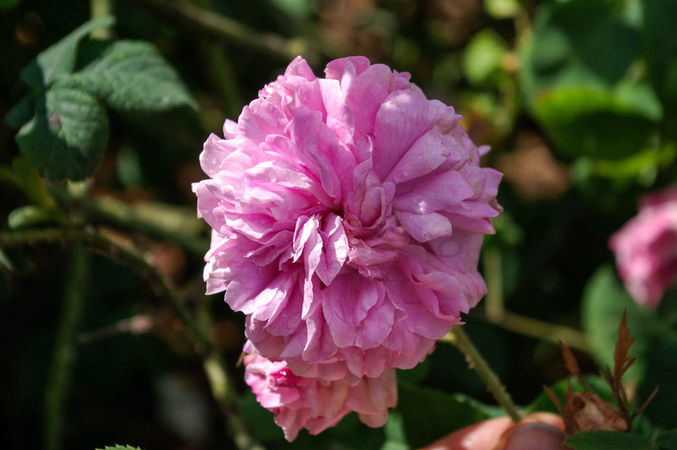 Pink Leda = Rosa Sport v. Leda, England vermutlich-5-SGH-1-w.jpg