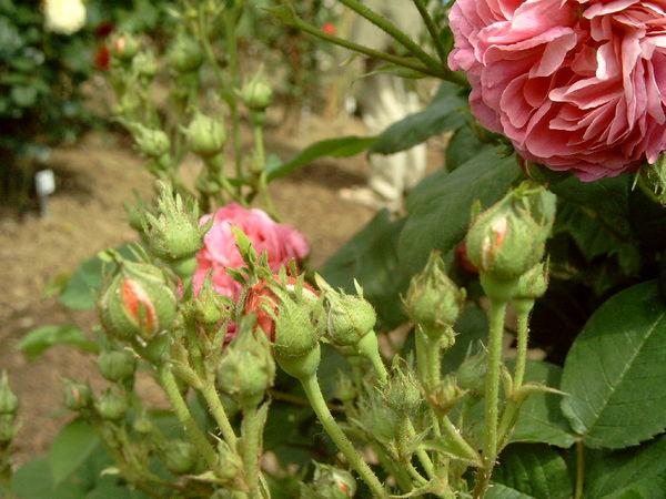 Belle rosine knospen-ori.jpg