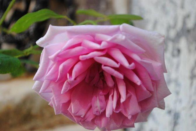 Polly E M Blieschke Pink Granny, FR 4.jpg
