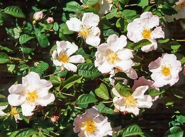 Rosa gallica incarnata filtered-3-g.jpg