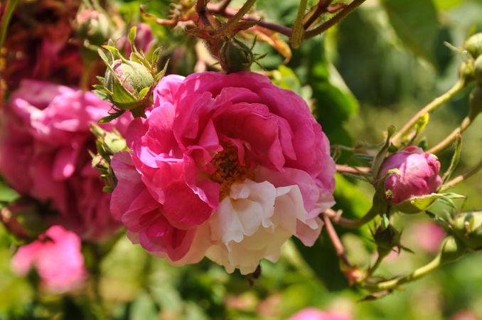 Rose de la Griefferaie K.-3-w.jpg