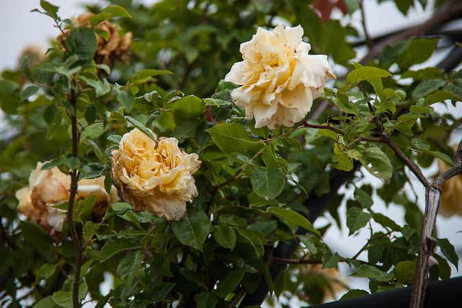 Parks' Yellow Tea-scented China, Hiroshi Wakabayashi, hiros-factory.sakura.ne.jp 3-w.jpg