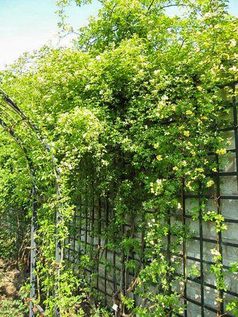 Banksiae lutea, Stéphane Barth, L'Hay 2-w.jpg