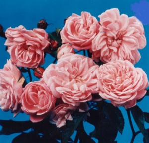 Alister Clark, Foto des Entdeckers der Rose