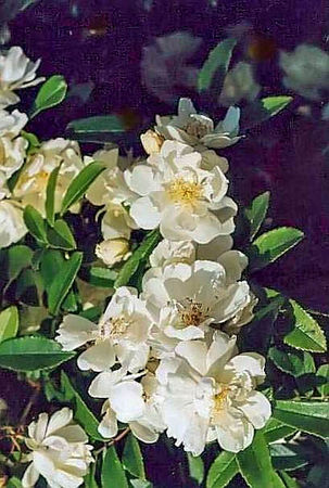 Banksiae alba plena filtered Kopie-3-g.jpg