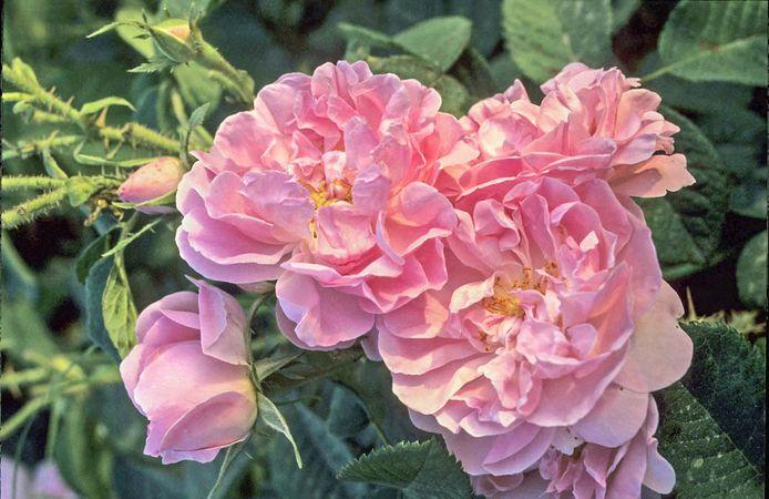 Edward Rose 4-w.jpg