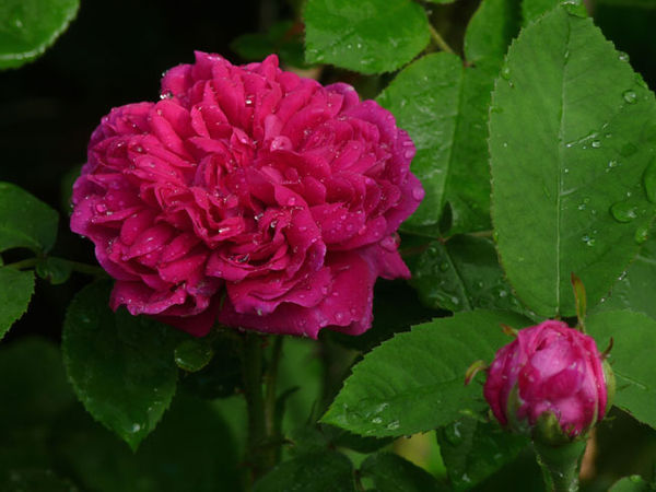 Rose de Resht.jpg