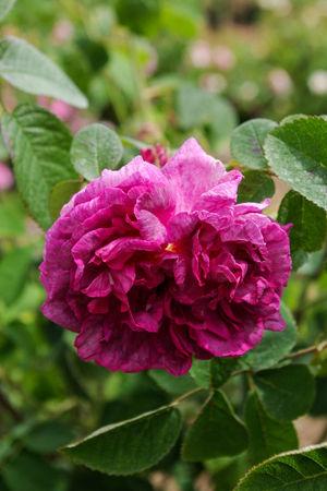 Rose du Maître d'École, Miellez 1840, Gall.-II-2-SGH-1-w.jpg