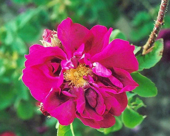 Rosa gallica conditorum filtered-3-g.jpg