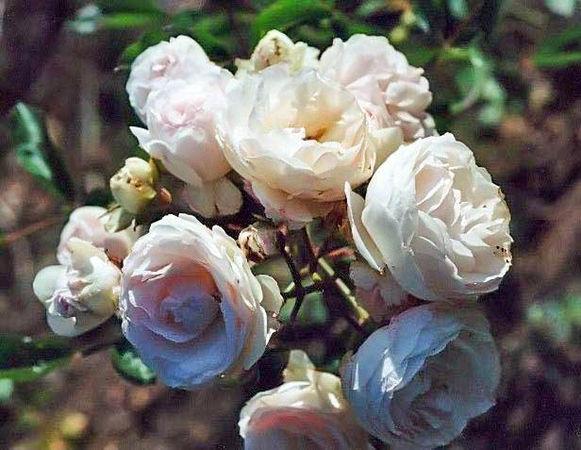 R.pimp. subspinosa filtered-3-g.jpg