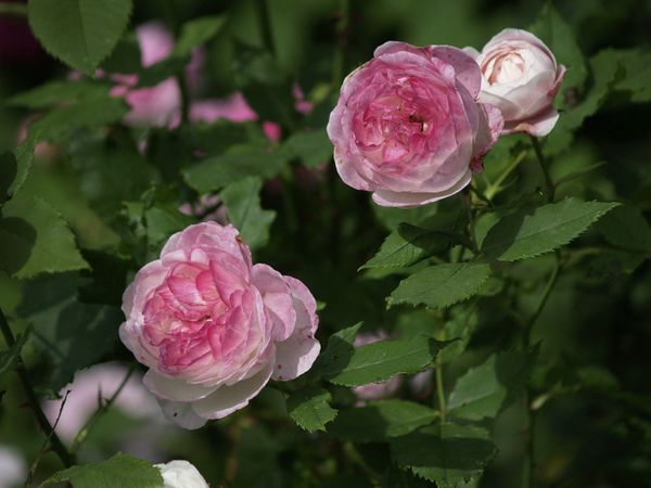 Rosa Bourbonica-Madame Pierre Oger-2019-06-25- 6258336.jpg