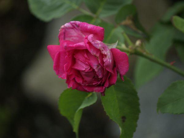 Rosa Bourbonica-LBDLS-2020-07-11- 7119183.jpg