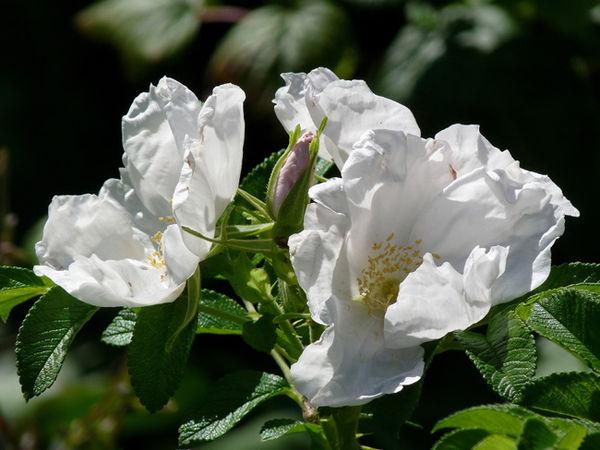 Rosa rugosa alba 3.jpg