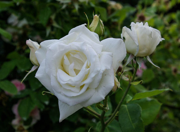Blanc Pur, Mauget 1827, Nois. H.-1-SGH-1-w.jpg