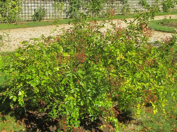 R.multiflora adenochaeta, Stéphane Barth. L'Hay 5-w.jpg