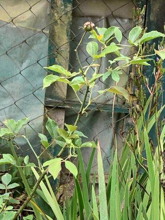 15 Plant of Fortune s 5 Coloured RoseIMG-2401.jpg