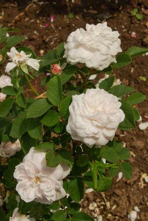 Pompon blanc parfait, Verdier 1876, Alba SGH (3)-1-w.jpg