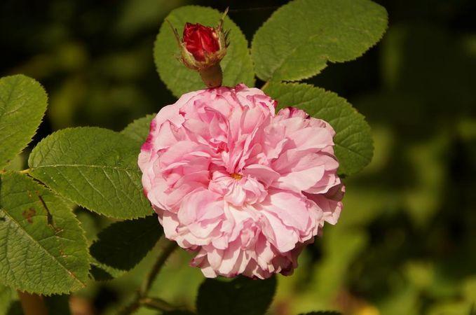 RB Pink Leda.jpg