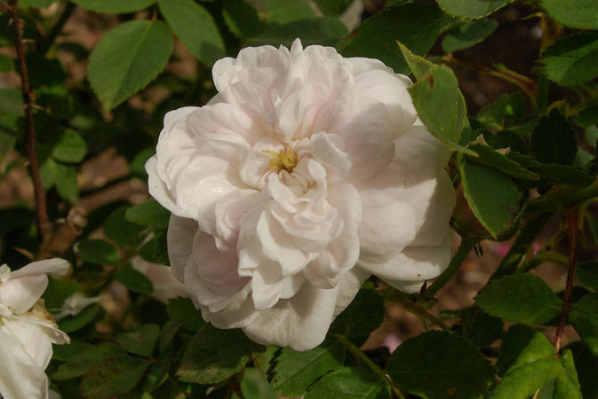 Pompon blanc parfait, Verdier 1876, Alba SGH (2)-1-w.jpg