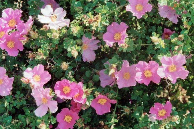 Rosa stellata var. mirifica, Loubert 1.jpg