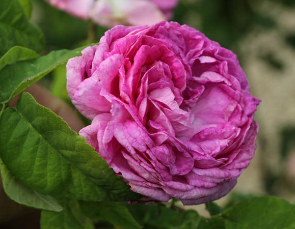 Pourpre charmant, Moje Roze, L'Hay 1-w.jpg