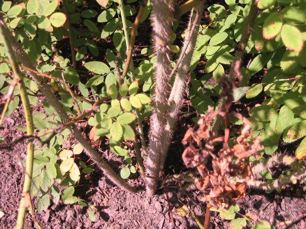Rosa acicularis Q 10.2.JPG