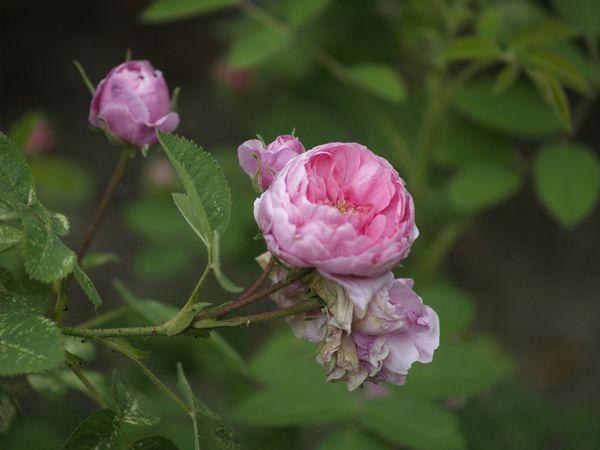 Rosa centifolia-Pompon de Bourgogne-2020-06-13- 6138877.jpg