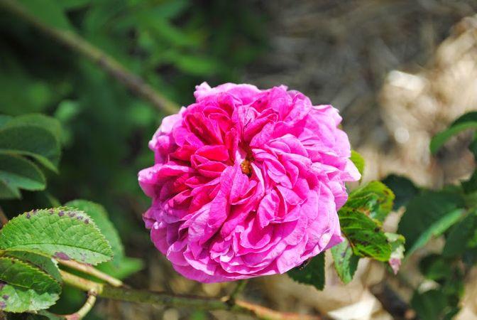 1G022 Belle Rosine= Charles de Mills2.jpg
