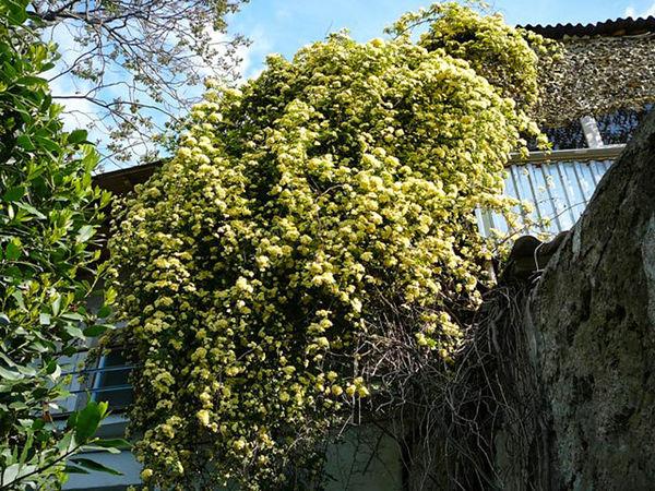 Banksia Lutea 1, Krim-2-w.jpg