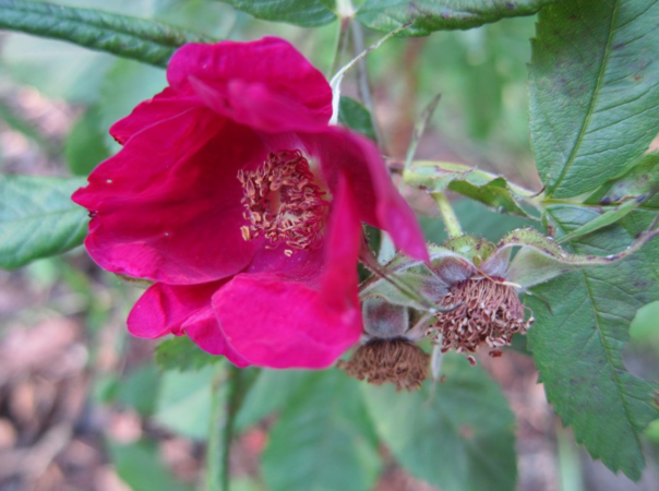 Basy's Purple Rose, Ostergaard 1.PNG