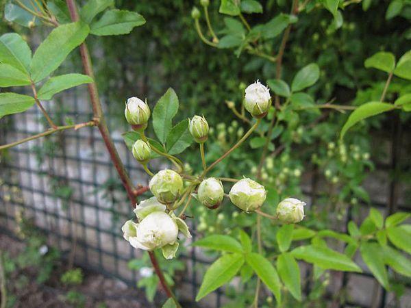 R.banksiae alboplena, Stéphane Barth, L'Hay 3-w.jpg