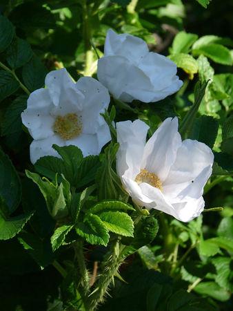 Rosa rugosa alba 2.jpg