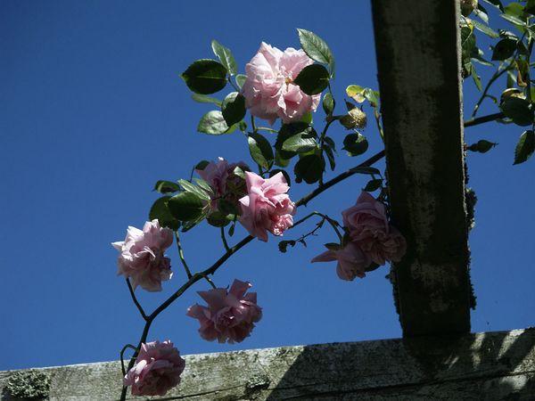 Rosa Wichurana-Gerbe Rose-2020-06-15- 6158988.JPG