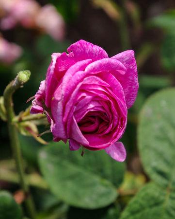 Rose du Maître d'Ecole, Miellez 1840, Gall.-1-SGH-1-w.jpg