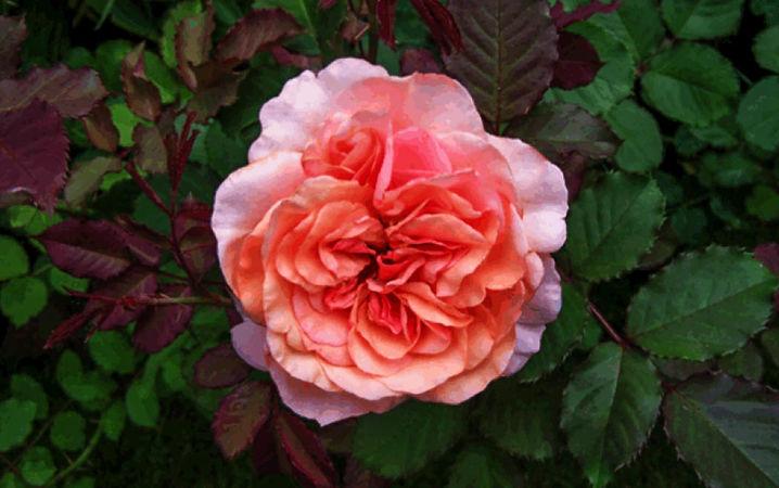 Anni Berger Rose 3-w.jpg