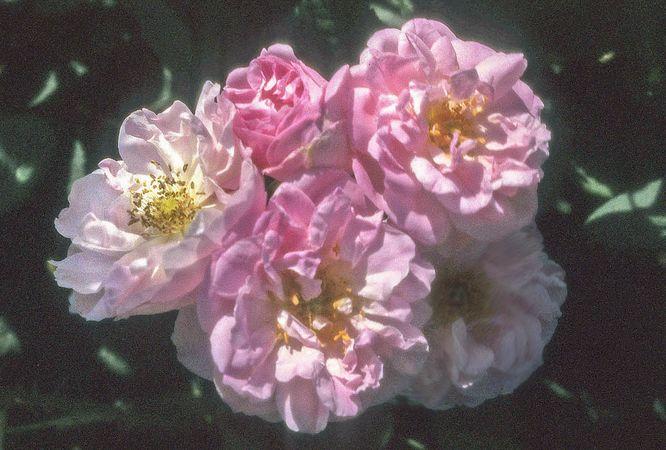 Edward Rose 5-w.jpg