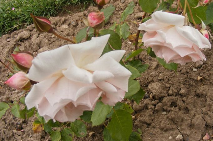 Andenken an Alma de l'Aigle, Moje Roze 2-w.jpg