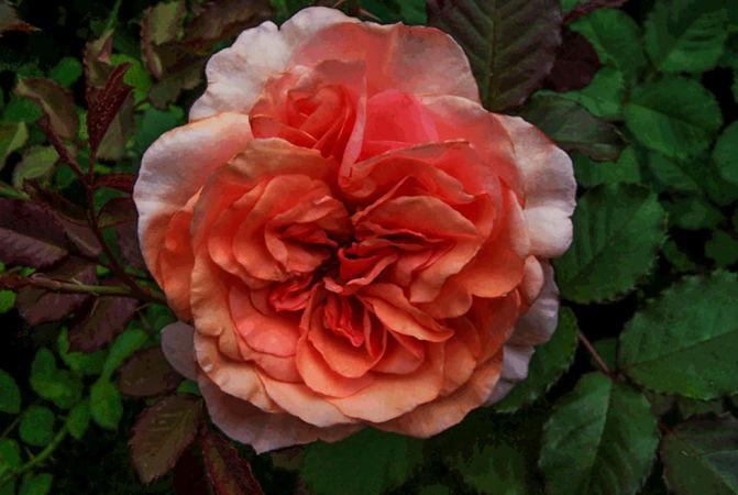 Anni Berger Rose 2-w.jpg