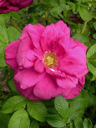 Moje Hammarsberg, Finnish Rose Society 1.jpg