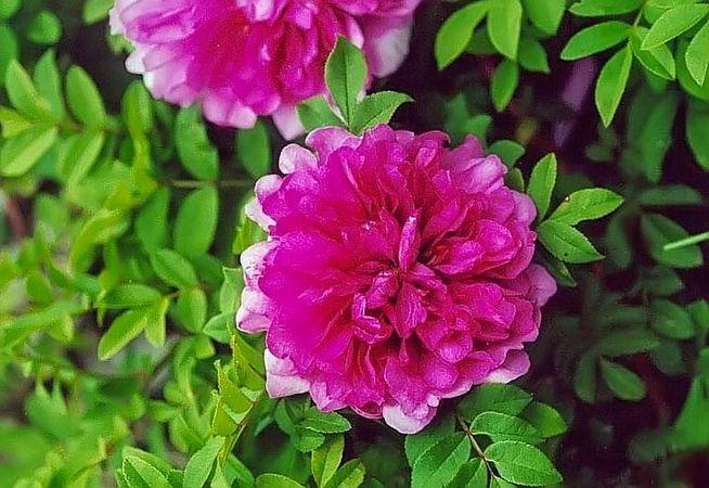 R.roxburghii flore plena filtered-3-g.jpg