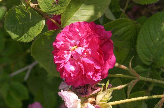 R.heterophylla, Raymond Loubert 1-w.jpg