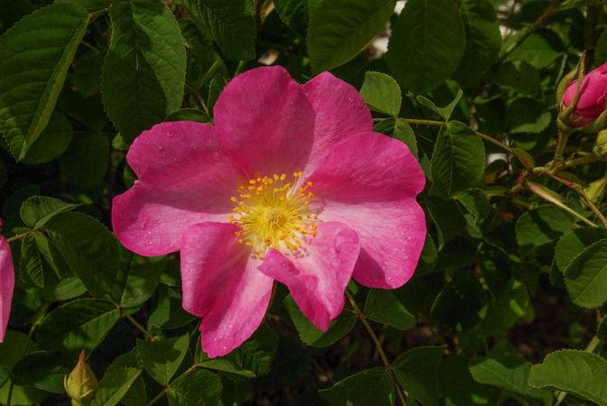 R. gallica var. pumila, 'Pumila', SGH (1)-1-w.jpg