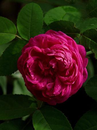 Rose de Resht 1.jpg