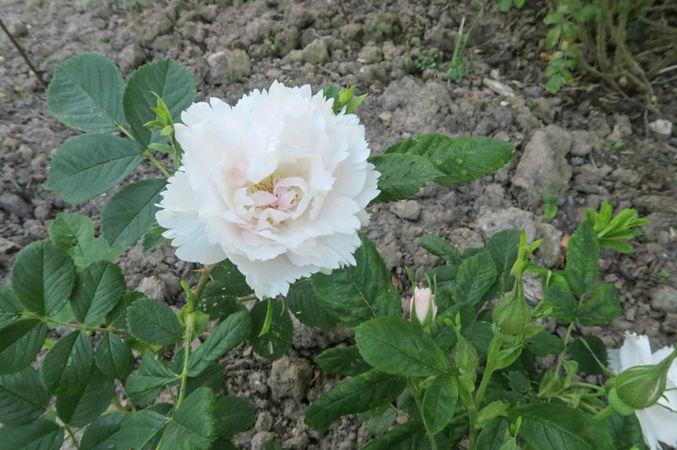 Dianthiflora, Ostergaard 1-w.jpg