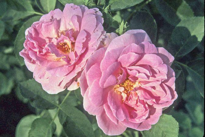 Edward Rose 6-w.jpg