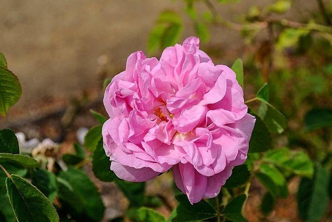 Rose de Puteaux, Masha, San Jose Heritage Eose Garden 1-w.jpg