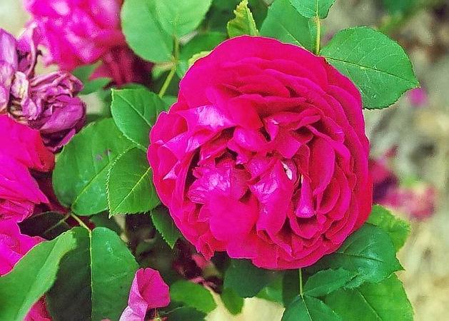 Souvenir du rosieriste gonod filtered-3-g.jpg
