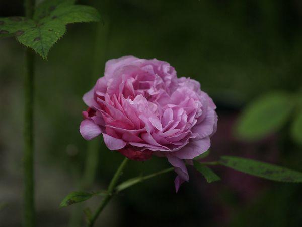 Rosa Remontant-Paul Neyron-2020-07-18- 7189264.jpg