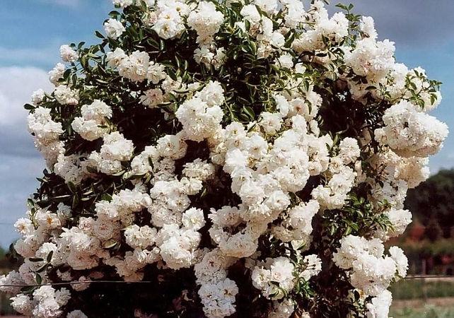 White Dorothy filtered-3-g.jpg